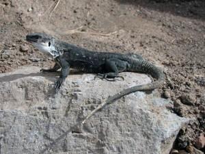 lagarto-gigante-de-la-gomera_0