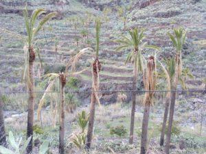 Palmeras en Barranco de Santiago 1