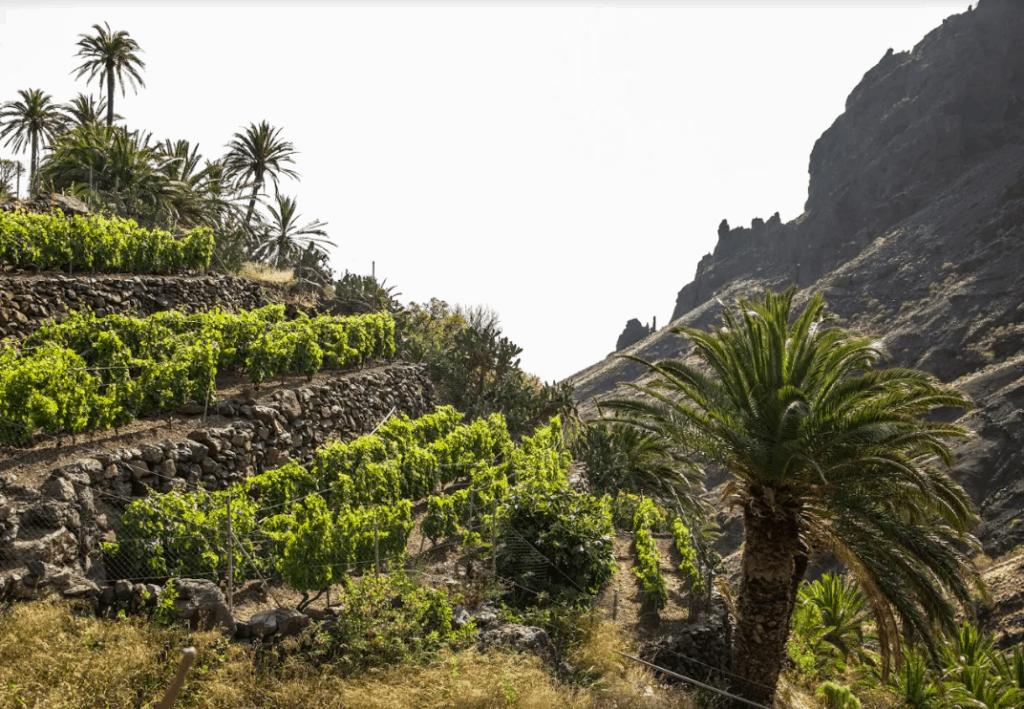 'El Cabildo incorpora 150 mil euros para mejoras en infraestructuras vitivinícolas de La Gomera